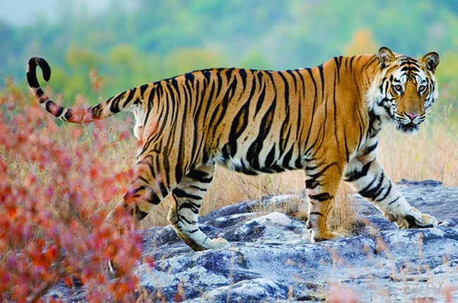 02.Tiger-in-Pench-National-Park-650px-322e4707ac