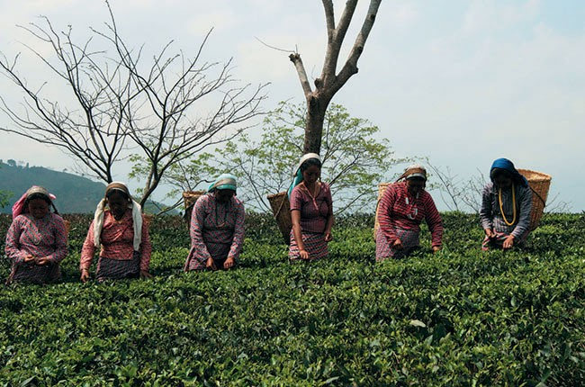 03-Tea-Pickers-at-Glenburn-e4562bd856