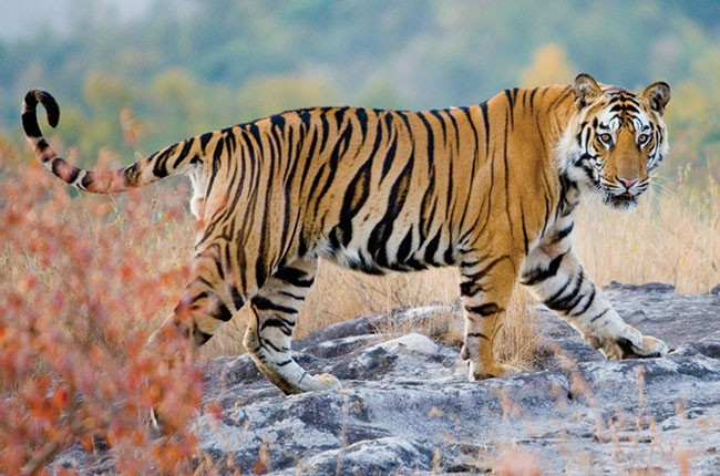 08-Tiger-in-Pench-National-Park-1e3393afd3