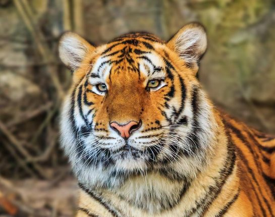 tiger_ranthambore